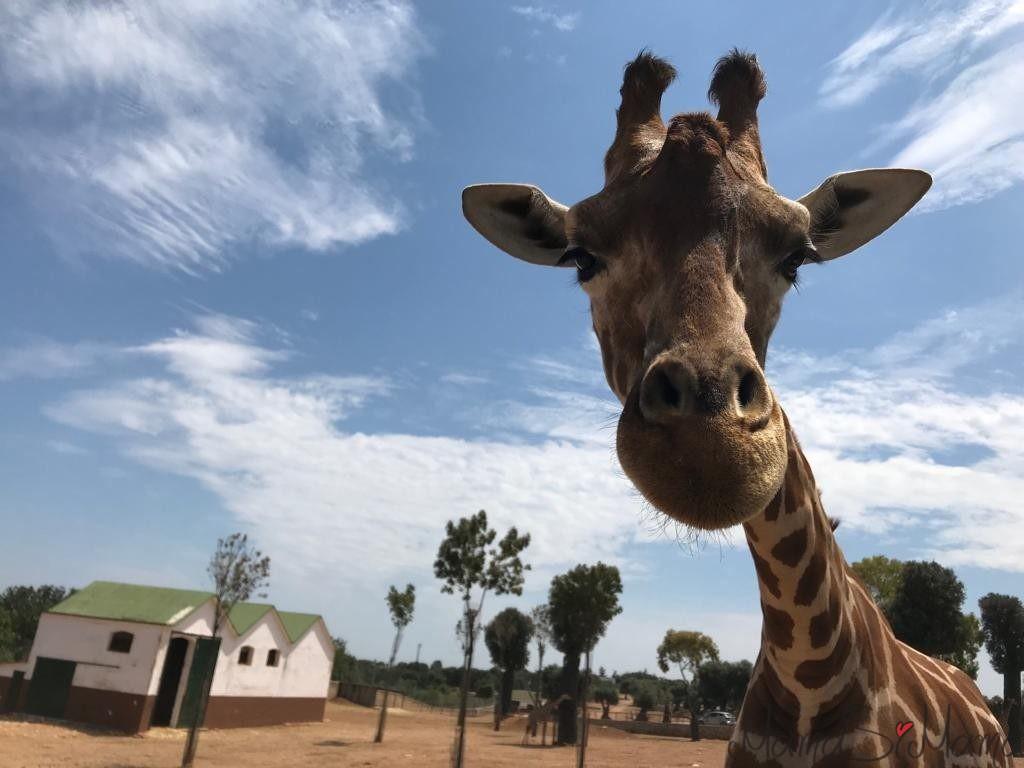 zoosafari giraffa