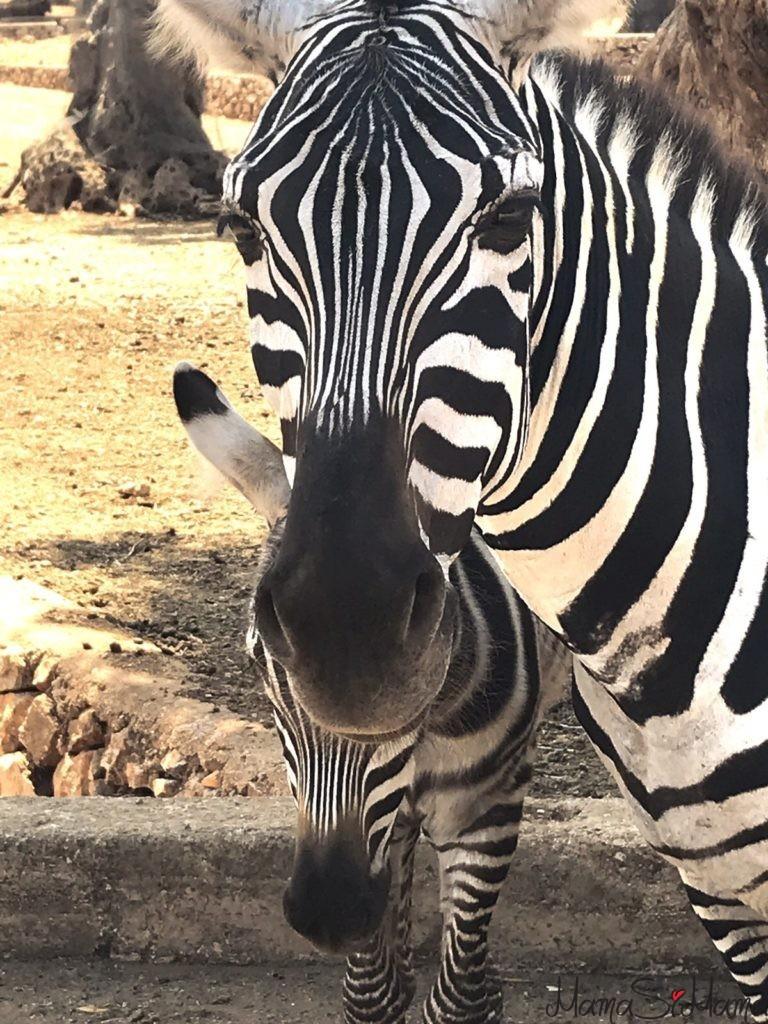 zoosafari zebra